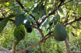 Ventura College Agriculture Program Unveils New Avocado Orchard