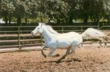 Camarillo White Horses To Be Featured At 'Tales at the Ranch'