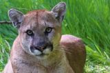 UPDATE – Simi Valley | Mountain Lion Spotted