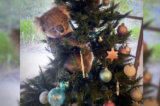 Australian Woman Discovers Wayward Koala Hanging Out in Her Christmas Tree, Snaps Photo